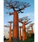 Huile de Baobab Pilani
